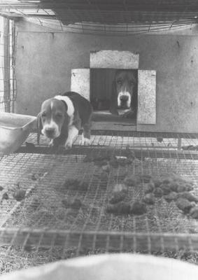Puppy Mill-Bassett